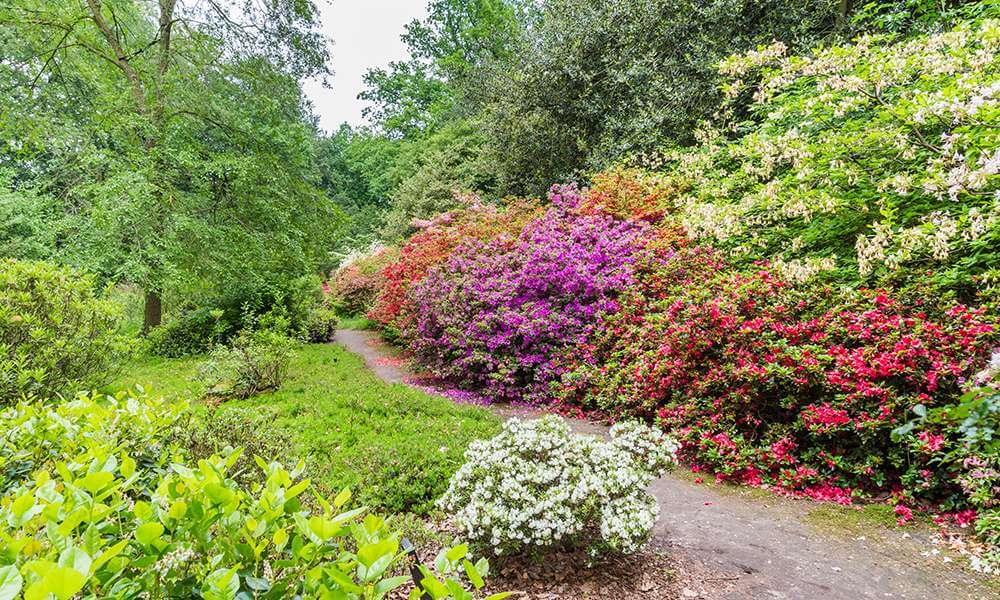 blooming rhododendrons in a public park, background image